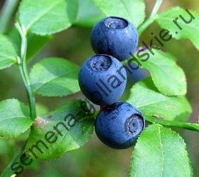 """Черника """"МИРТОЛИСТНАЯ"""" (Vaccinium myrtillus) 10 семян"""